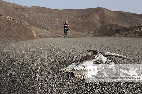 Goat skull and bones in the foreground with a cyclist in the background in a desert and volcanic landscape. Fuerteventura  Canary Islands.