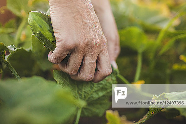 A Woman Picks A Cucumber From Her Garden In Fort Langley