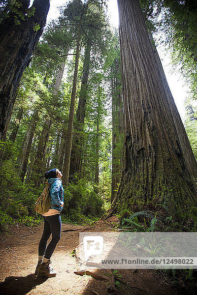 A hiker looks up through the sunlight at a giant Redwood Tree in Stout Grove  Jedediah Smith Redwoods State Park.