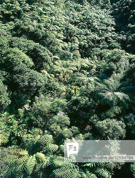 Fern trees in Pohuehue  north of Auckland.