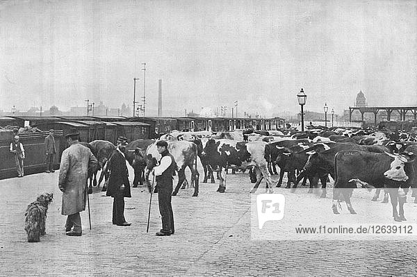 Detraining cattle  LNWR depot  York Road  London  c1903 (1903). Artist: Unknown.