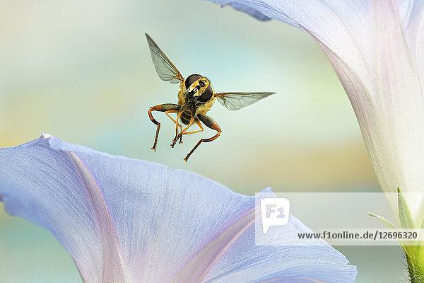 Große Sumpfschwebfliege  Helophilus trivittatus
