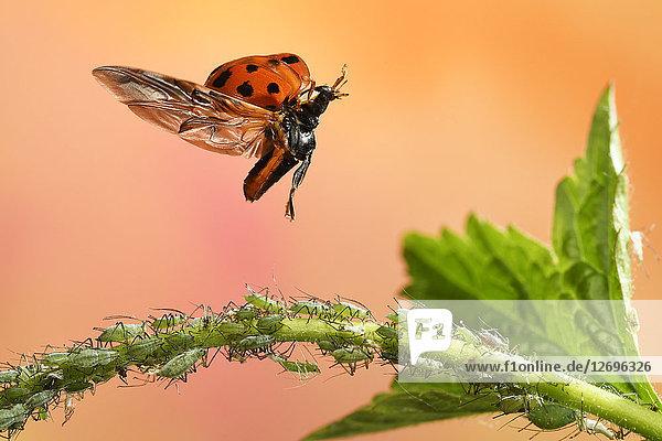 Asiatischer Marienkäfer  Harmonia axyridis