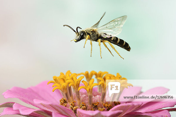 Gelbbindige Furchenbiene  Halictus scabiosae