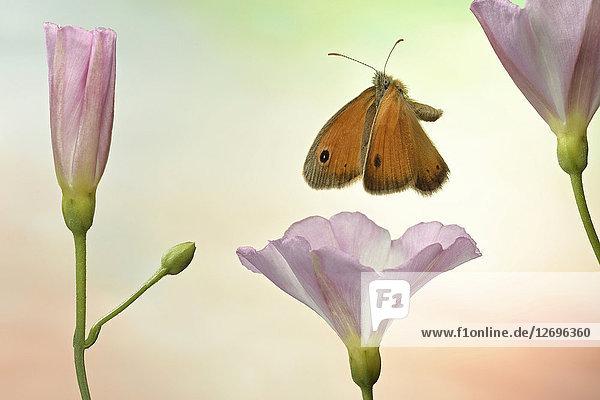 Kleines Wiesenvögelchen  Coenonympha pamphilus