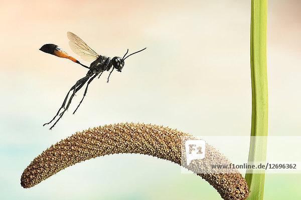 Gemeine Sandwespe  Ammophila sabulosa