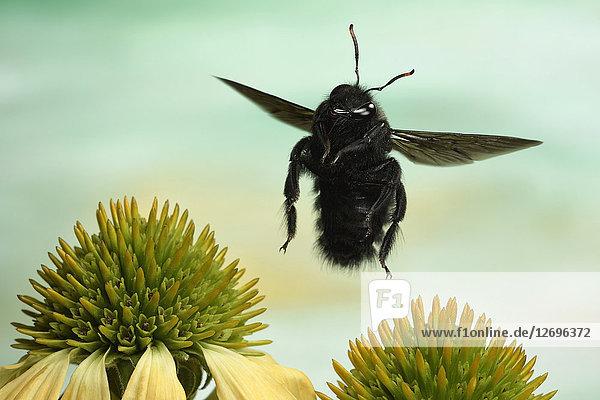 Große Holzbiene  Xylocopa violacea