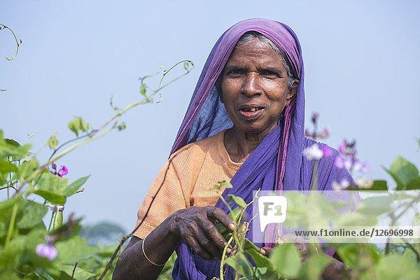 An old woman picking Handful fresh board bean (Sheem) at Jessore  Bangladesh.