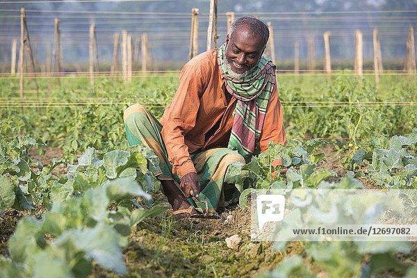 A farmer takes caring his eggplants plant on field at Jessore  Bangladesh.