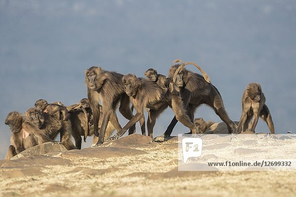 Africa  Ethiopia  Rift Valley  Debre Libanos  Gelada or Gelada baboon (Theropithecus gelada)  group of females with babies.near the cliff where they spend the night.