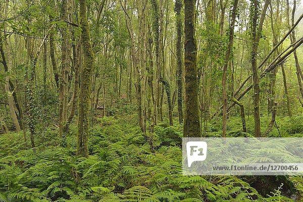 Laurisilva (Laurel forest) in Garajonay National Park  Gomera  Canary islands. Spain