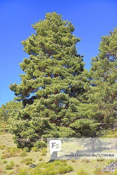 Scots pine (Pinus sylvestris). Sierra de la Demanda  La Rioja  Spain.