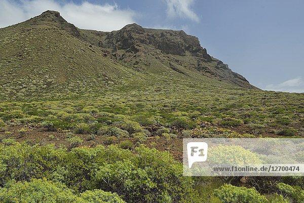 Arid land vegetation in the Teno Peninsula  Tenerife  Canary Islands  Spain.