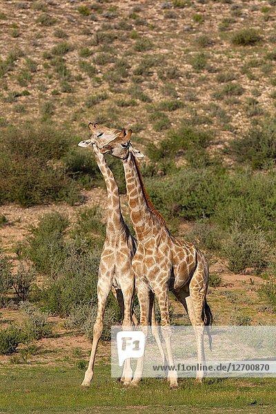 Giraffe (Giraffa giraffa giraffa) - Two males  Kgalagadi Transfrontier Park  Kalahari desert  South Africa/Botswana.