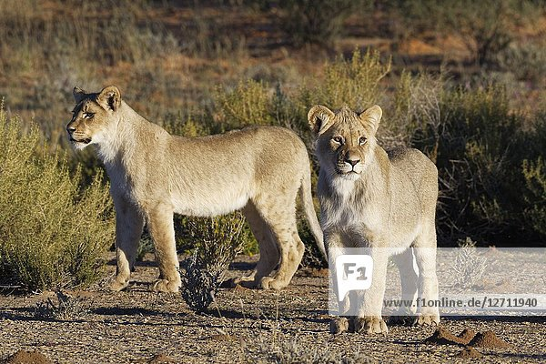 African lions (Panthera leo)  two young males standing  curious  Kgalagadi Transfrontier Park  Northern Cape  South Africa  Africa.