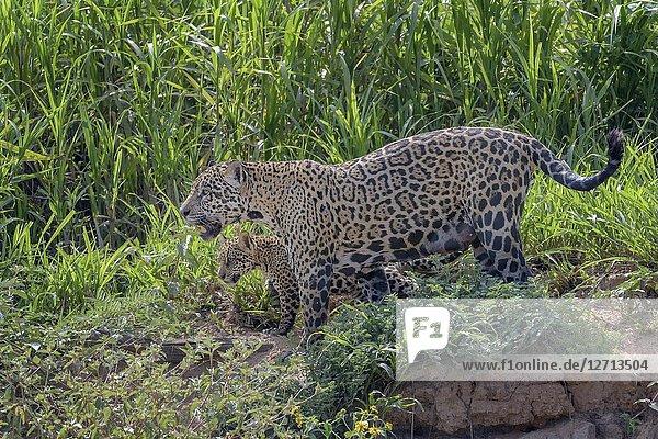 Jaguar (Panthera onca) female with cub walking on riverbank  Pantanal  Mato Grosso  Brazil.