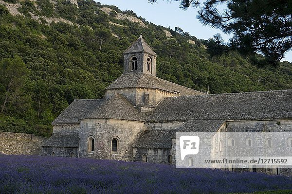 A field of lavender in front of the Senanque Abbey  which is a Cistercian abbey near the village of Gordes in the Vaucluse in Provence  France.
