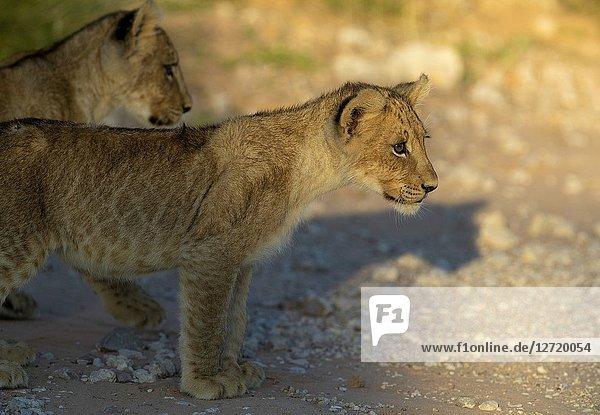 African lion (Panthera leo) - Cubs  Kgalagadi Transfrontier Park  Kalahari desert  South Africa/Botswana.