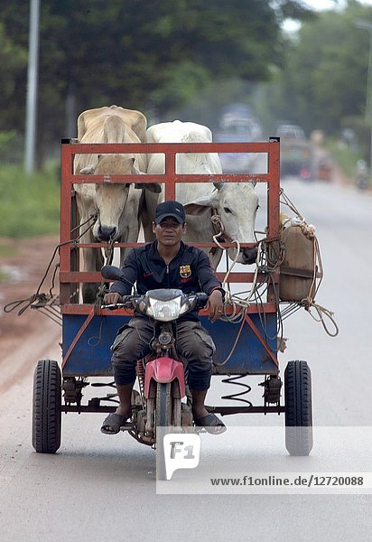 Transporting the bufalos with his motorbike  Siem reap Province  Kingdon of Cambodia.