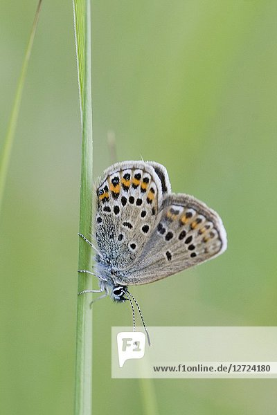Silver-studded Blue  Plebejus argus  a myrmephious butterfly tended by Lasius niger and Formica cinerea. Food plants are Fabaceae including Galega  Lotus  Medicago  Genista  Ononis Astragalus  Coronilla  Ulex. Found in grasslands  scrublands  meadows.