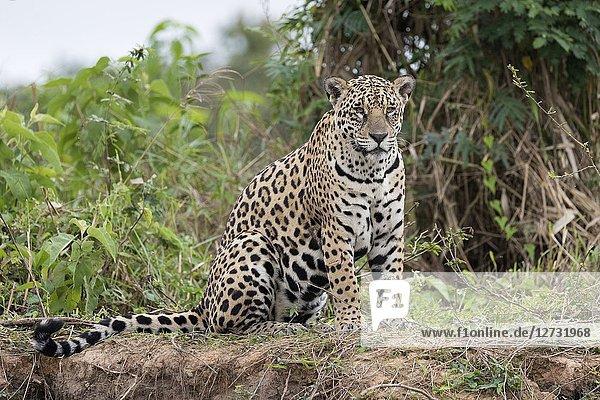 Jaguar (Panthera onca)  adult sitting on riverbank  Pantanal  Mato Grosso  Brazil.