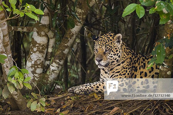 Adult Jaguar (Panthera onca) resting on the edge of a river  Pantanal  Mato Grosso  Brazil.