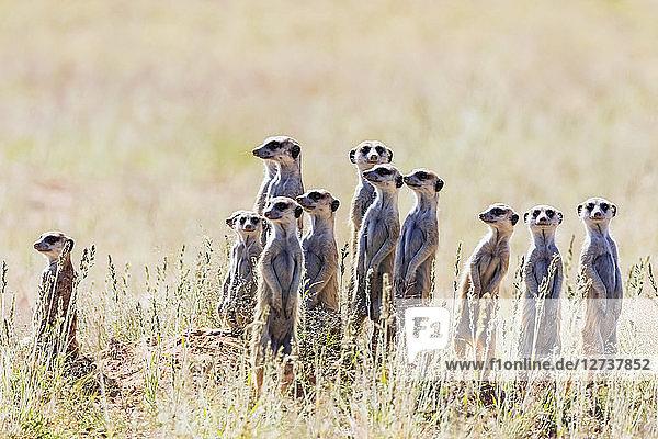 Botswana  Kgalagadi Transfrontier Park  Kalahari  Meerkats  Suricata suricatta