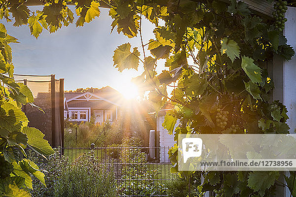 View into a garden with wine tendrils towards sunset