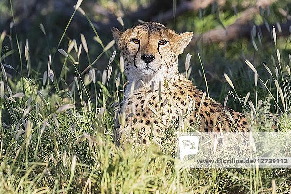 Botswana  Kgalagadi Transfrontier Park  Cheetah  Acinonyx Jubatus