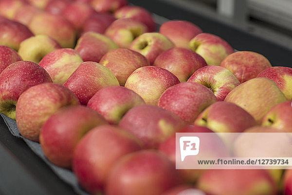 Apples in factory on conveyor belt