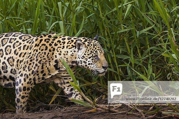 Adult Jaguar (Panthera onca) with an injured eye  Pantanal  Mato Grosso  Brazil.