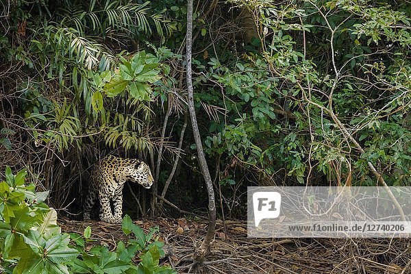 Adult Jaguar (Panthera onca) in the Pantanal region  Mato Grosso  Brazil.