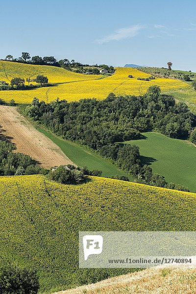 Sant' Isidoro  Monterubbiano  provinve of Fermo  Marche  Italy  Europe. Typical fields of the Marche  with cereal cultivation and sunflower fields.