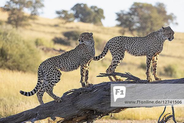 Botswana  Kgalagadi Transfrontier Park  Cheetahs  Acinonyx Jubatus