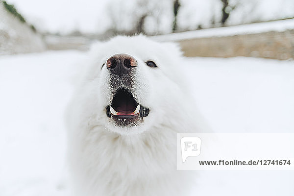 Portrait of white dog in the snow