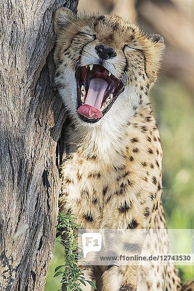 Botswana  Kgalagadi Transfrontier Park  Cheetah  Acinonyx Jubatus  yawning