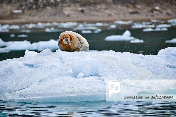 Bartrobbe, Erignathus barbatus, auf einer Eisscholle, Spitzbergen, Norwegen, Europa
