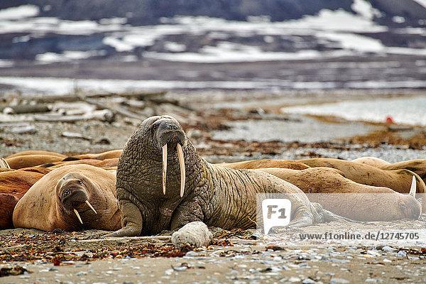 Walross, Odobenus rosmarus, Spitzbergen, Norwegen, Europa