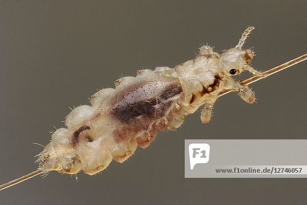 Kopflaus, Pediculus humanus capitis