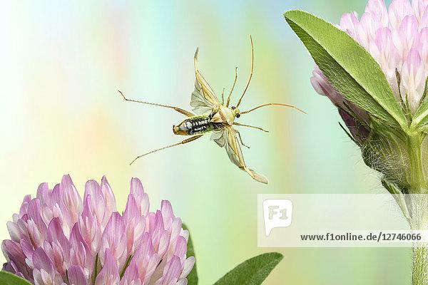 Grüne Futterwanze  Lygocoris pabulinus Grüne Futterwanze, Lygocoris pabulinus