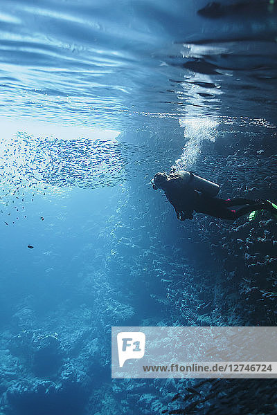 Woman scuba diving underwater among school of fish  Vava'u  Tonga  Pacific Ocean