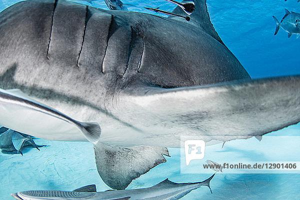 Grosser Hammerhai  andere Fische im Hintergrund  Alice Town  Bimini  Bahamas