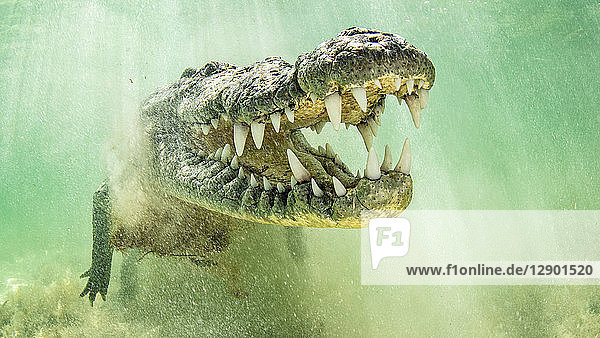 American saltwater crocodile with jaws open  Chinchorro Banks  Mexico