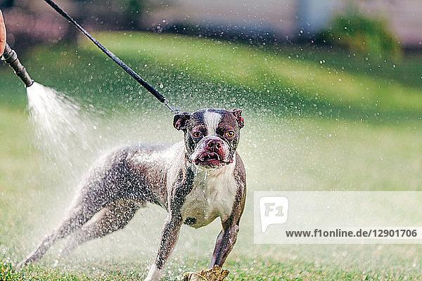 Haushund wird im Garten gewaschen
