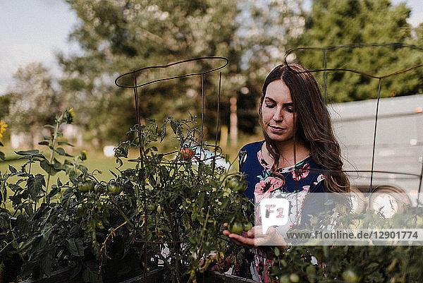 Frau kontrolliert ihre Tomatenpflanzen
