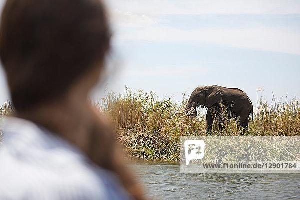 Tourist betrachtet Elefant auf der anderen Flussseite  Sambesi  Sambia