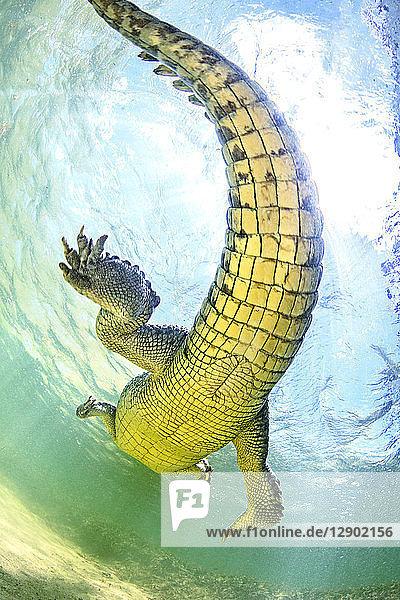 American saltwater crocodile  underbelly. Chinchorro Banks  Mexico