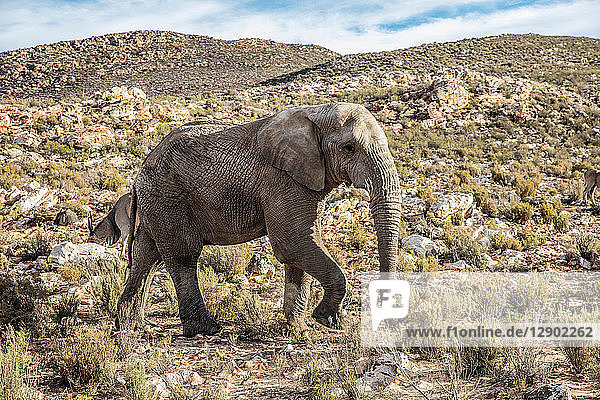 African elephant (Loxodonta)  Touws River  Western Cape  South Africa