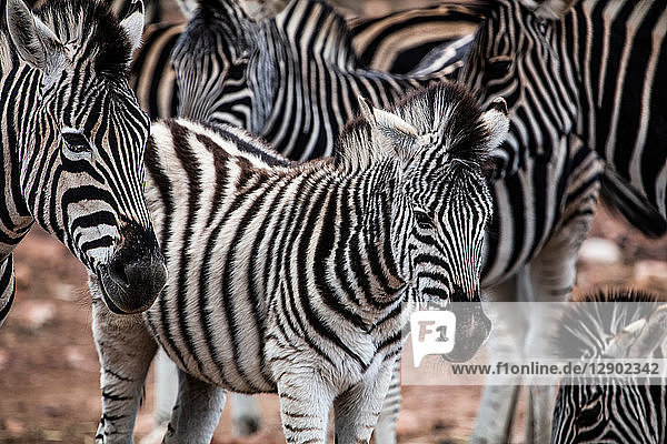 Herd of Zebra (Equus quagga)  Touws River  Western Cape  South Africa