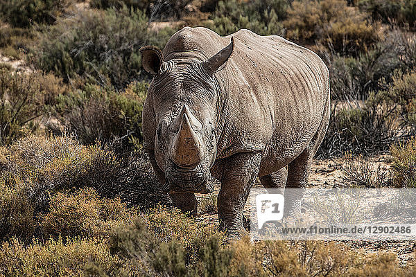 White rhinoceros (Ceratotherium simum)  Touws River  Western Cape  South Africa